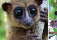 Обнаружены самые милые в мире лемуры