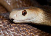 Поймана самая опасная змея на планете