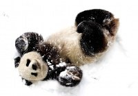 В Канаде 3 панды атаковали снеговика (ВИДЕО)