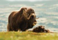 На Чукотке спасли теленка овцебыка, отбившегося от стада