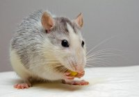 Ученые: Причиной вспышки чумы в Средние века были не крысы