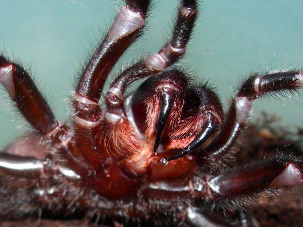 Токсичность яда данного насекомого сопоставима с цианидом