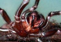 Рождение 100 смертельно опасных пауков сняли на видео