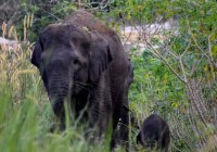 Детеныш редкого суматранского слона родился в Индонезии