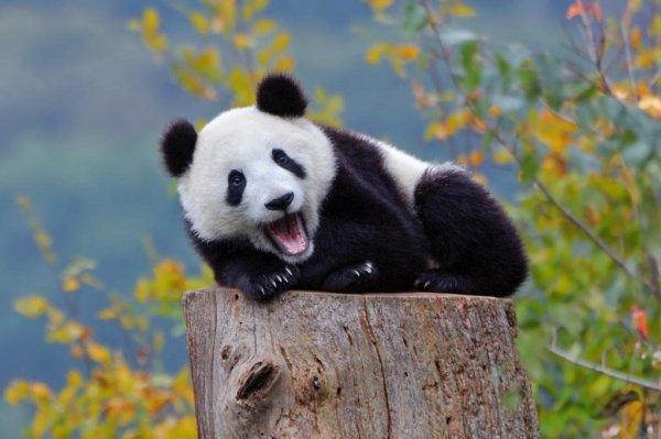 Еще до приезда бамбуковым медведям дали клички — самца назвали Суоми, а самку — Йин Баобао