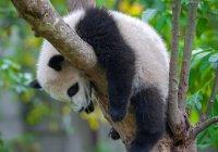 В Китае панд заставляют заниматься фитнесом (ВИДЕО)