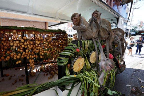 Бесчинствующих приматов местные жители не трогают и надеются на то, что животные привлекут в регион туристов