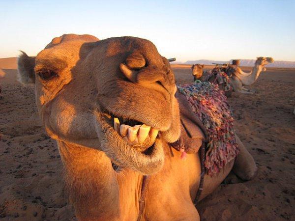 Конкурс верблюжьей красоты проходит в Саудовской Аравии.
