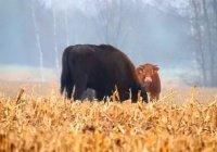 В Польше корова сбежала от мясника к зубрам (ФОТО)