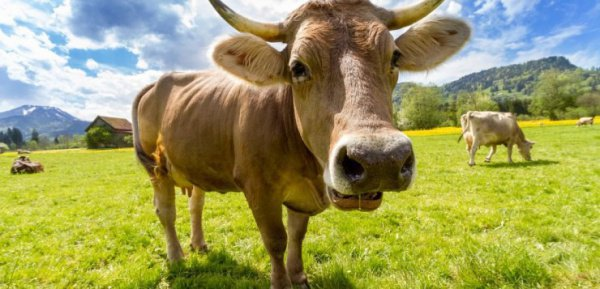 Новый вид домашнего скота будет невосприимчив к высоким температурам и сможет жить в Африке
