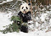 В Китае первый снег свел с ума панд (ВИДЕО)