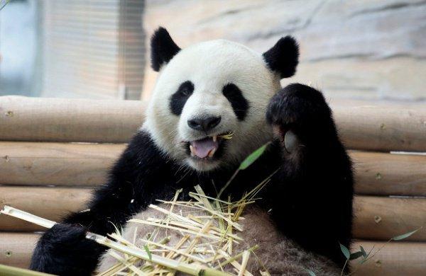 Панды научились распознавать горький вкус после того, как стали вегетарианцами