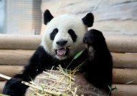 Ученые: В вегетарианцев панд превратил язык