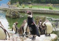 Умер самый модный пингвин Великобритании