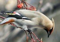 В Новосибирске птицы падают с деревьев