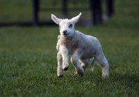 Ягненок с пятью с половиной ногами родился в Британии (ФОТО)