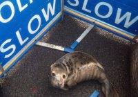 Тюлененок устроил пробку на дороге в Шотландии (ФОТО)