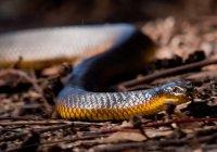 Австралиец перепутал смертельно опасную змею с зарядкой от телефона