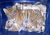 Мексиканец отправил по почте живого тигра (ФОТО)
