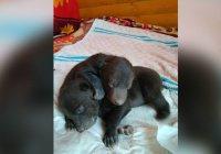 Двух медвежат нашли на помойке в Новой Москве