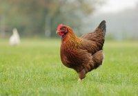 Куриные сердца опасны для жизни