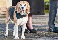В Англии похоронное бюро наняло пса-психотерапевта