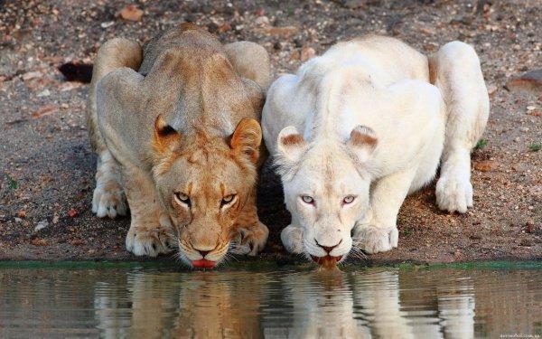 21 вид животных в зоне умеренного и арктического климата использует белую зимнюю окраску как средство маскировки