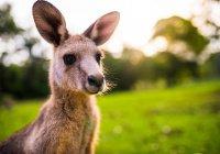 В Австралии кенгуру избил молодого охотника