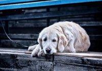В России установят памятник самой верной собаке