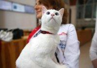 Эрмитажного кота Ахилла заставят похудеть из-за футбола