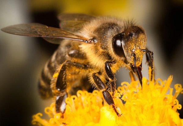 О пчелах, питающихся благим и приносящих благо