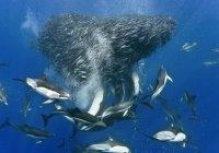 Биологи узнали, как охотятся дельфины