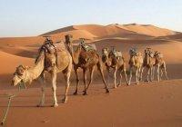 В Саудовской Аравии начали масштабную регистрацию верблюдов