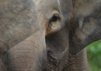 Голодный слон пришел в школьную столовую в Малайзии (ВИДЕО)