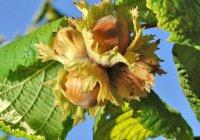 Медики рассказали, какие орехи спасут от рака