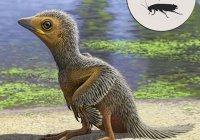 Найден детеныш одной из первых в мире птиц