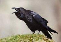Биологи научились распознавать возраст и пол ворон по карканью
