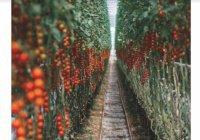 Урожай криптопомидоров вырастили в Чехии