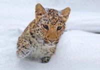 Во Владивостоке овчарка взяла под опеку леопарда