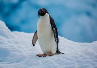 В Антарктиде птицы украли у геологов технику