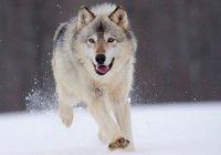В Новой Москве на улице нашли волчицу в ошейнике