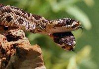 В США нашли двухголовую новорожденную змею (ВИДЕО)