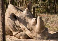 Умер последний белый носорог на планете (ВИДЕО)