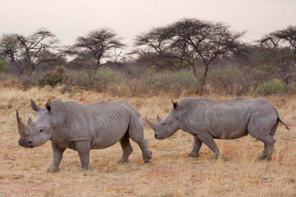 Белый носорог — это самый крупный представитель носорогов и второе (после слона) по величине животное, обитающее на суше