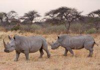 В WWF нашли способ спасти белых носорогов