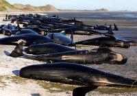 150 черных дельфинов выбросились на побережье Австралии