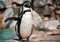 Пингвин из Чикаго удивил американцев (ВИДЕО)