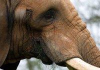 Объяснено поведение слонихи, «извергающей дым» (ВИДЕО)