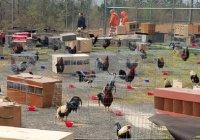 В Арканзасе 200 петухов посадили в тюрьму