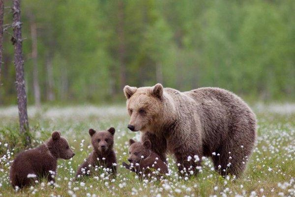 Местные охотники убивают одиноких медведиц в 4 раза чаще, чем с самок с медвежатами